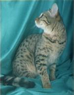 Кошка или леопард?  Бенгальские кошки до сих пор...